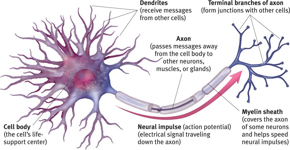 Modules 8 14 psychology the human nervous system is broken up into two main parts the central nervous system containing the brain and the spinal cord and the peripheral nervous ccuart